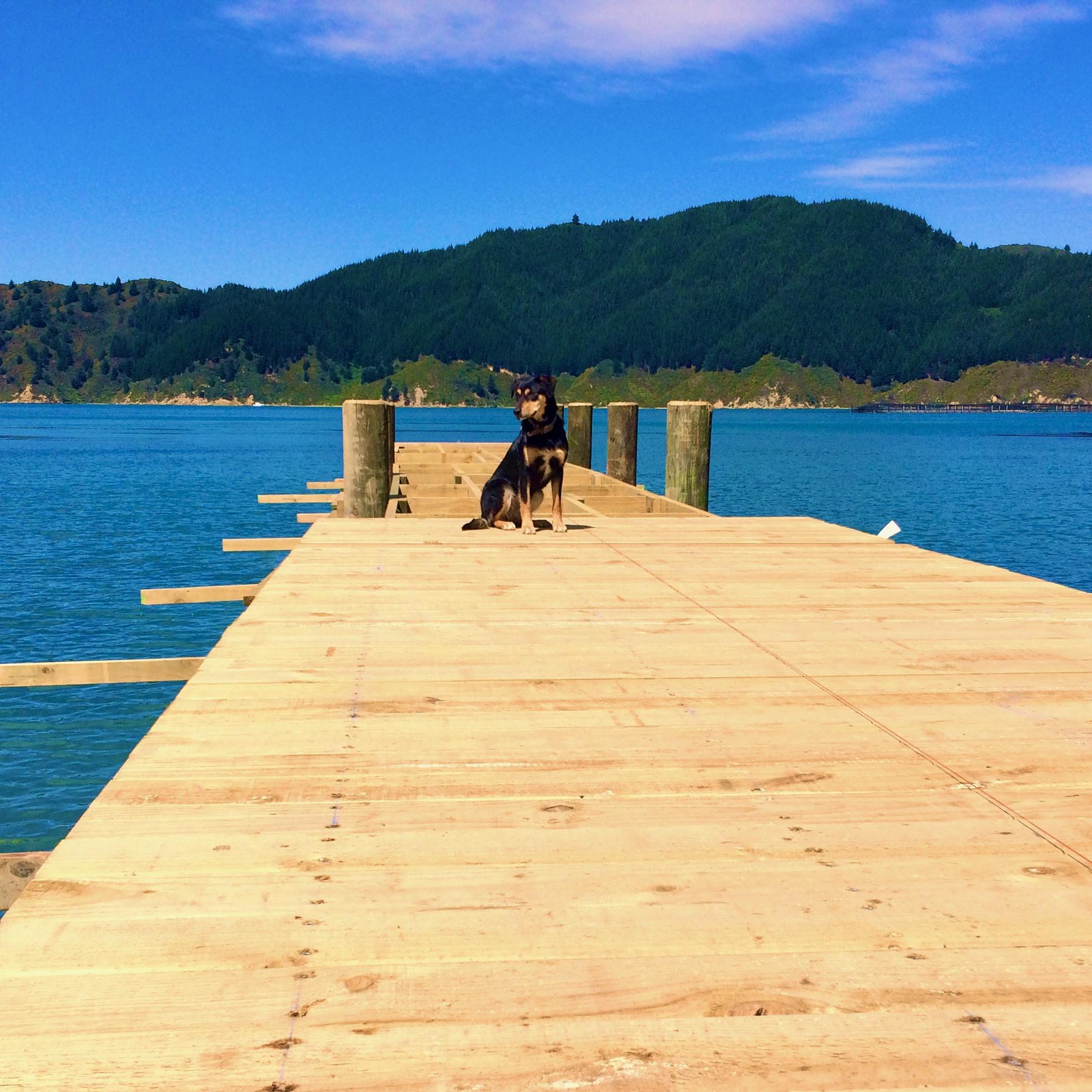 Farm dog waits on Tory Channel jetty